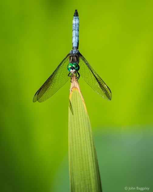 Photo of a dragonfly by John Baggaley.