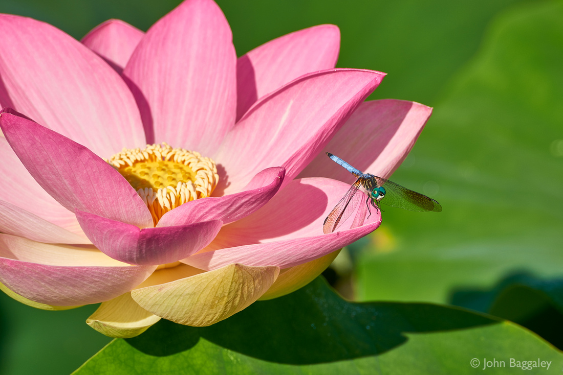 Photo by John Baggaley of a lotus flower with a dragonfly.