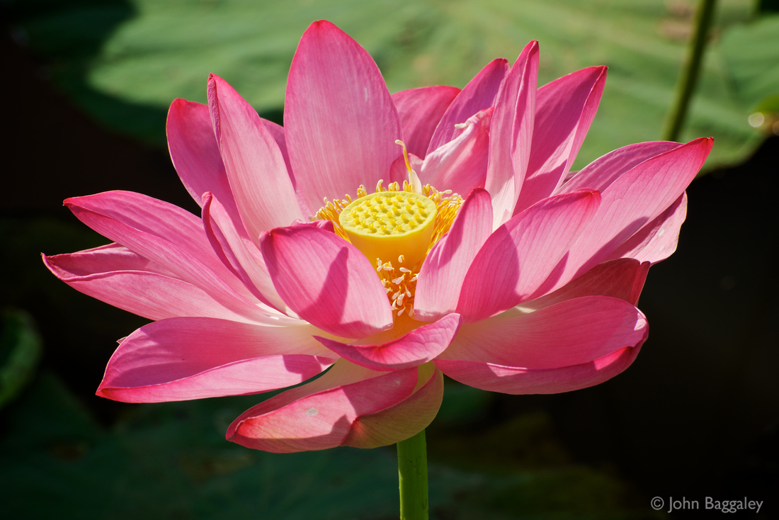 Photo of pink lotus flower by John Baggaley.