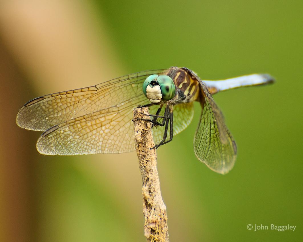 Blue Dasher dragonfly in Huntley Meadows Park, Alexandria, Virginia.
