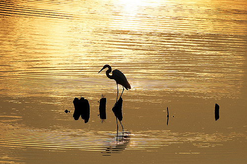 Silhouette of a wild heron at sunset