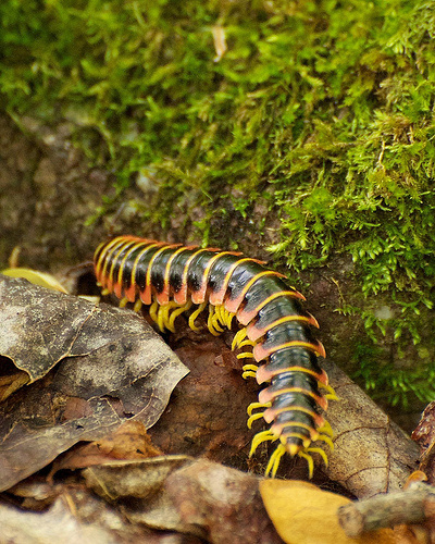 Black, red, orange, and yellow centipede in GR Thompson State Wildlife Management Area