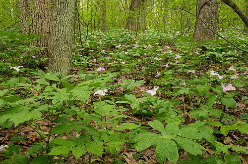 A sea of trillium under a canopy of trees in GR Thompson State Wildlife Management Area.