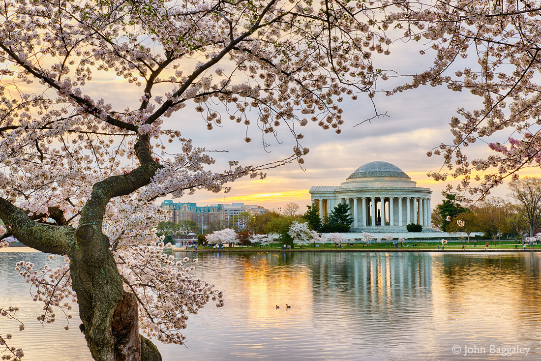 Jefferson and Cherry Blossoms at Sunrise