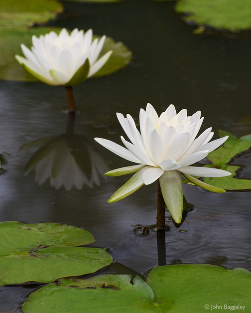 Photo of white waterlilies by John Baggaley.