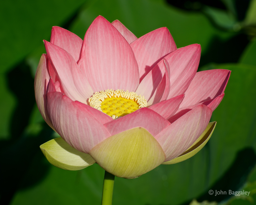 Close-up photo of a pink lotus in bloom by John Baggaley.
