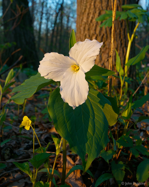 The first rays of the morning sun light up a Trillium grandiflorum in Thompson WMA in Virginia.