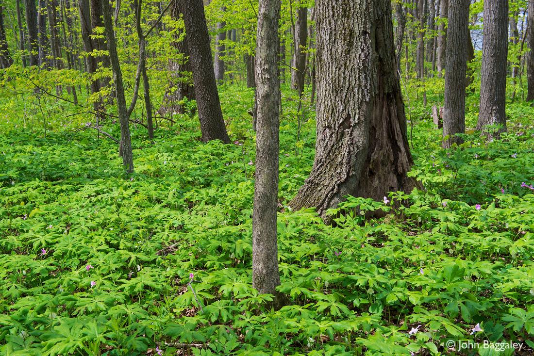 Forest floor of mayapple and trillium in GR Thompson WMA, Virginia.