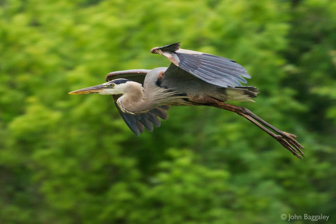Wild great blue heron in flight