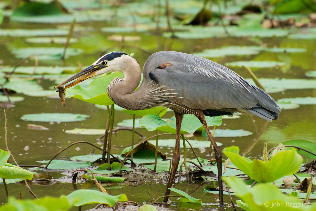 Wild great blue heron with a fish in it