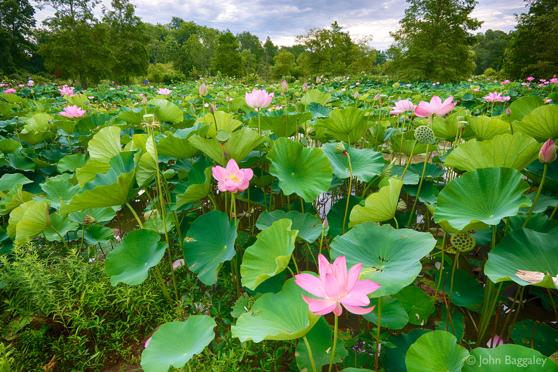 Lotus flowers at Kennilworth Park and Aquatic Gardens