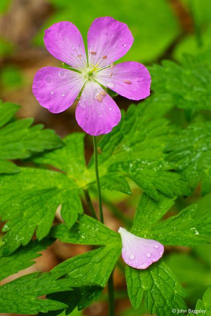 Purple geranium with raindrops
