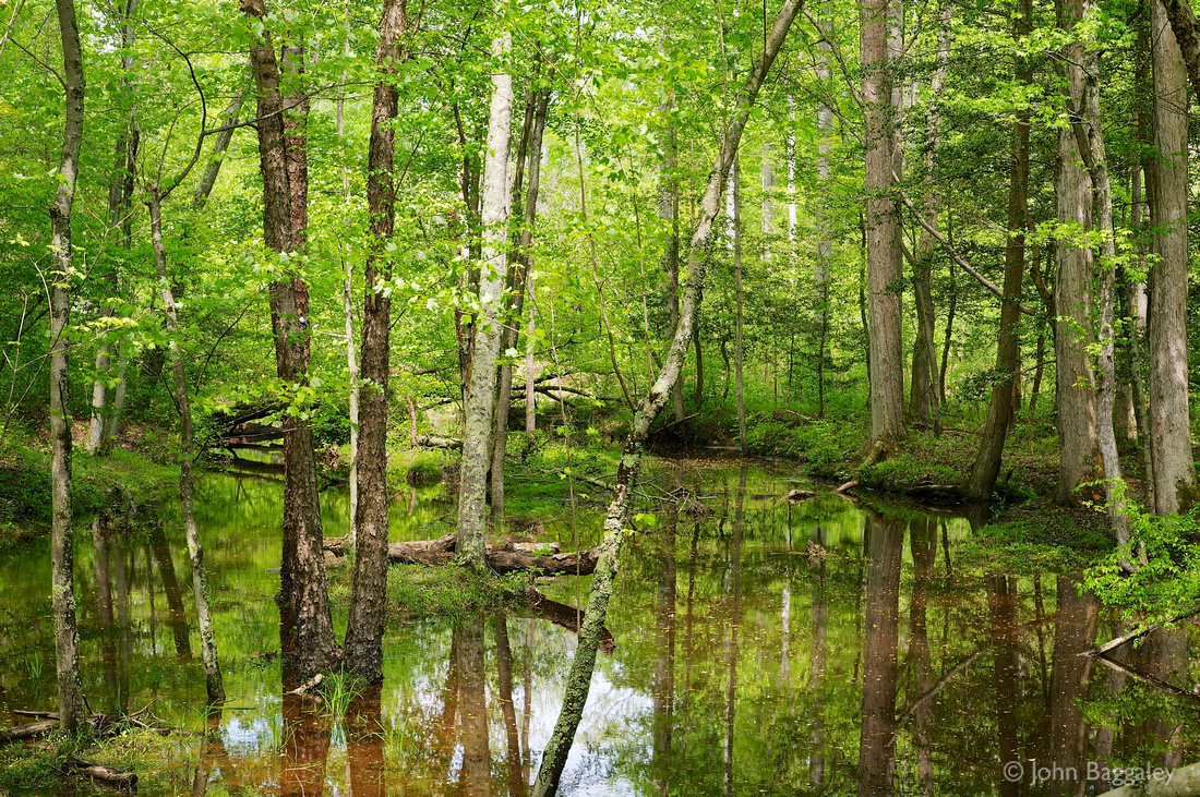 Trees in swamp in Cedarville State Forest, Southern Maryland.