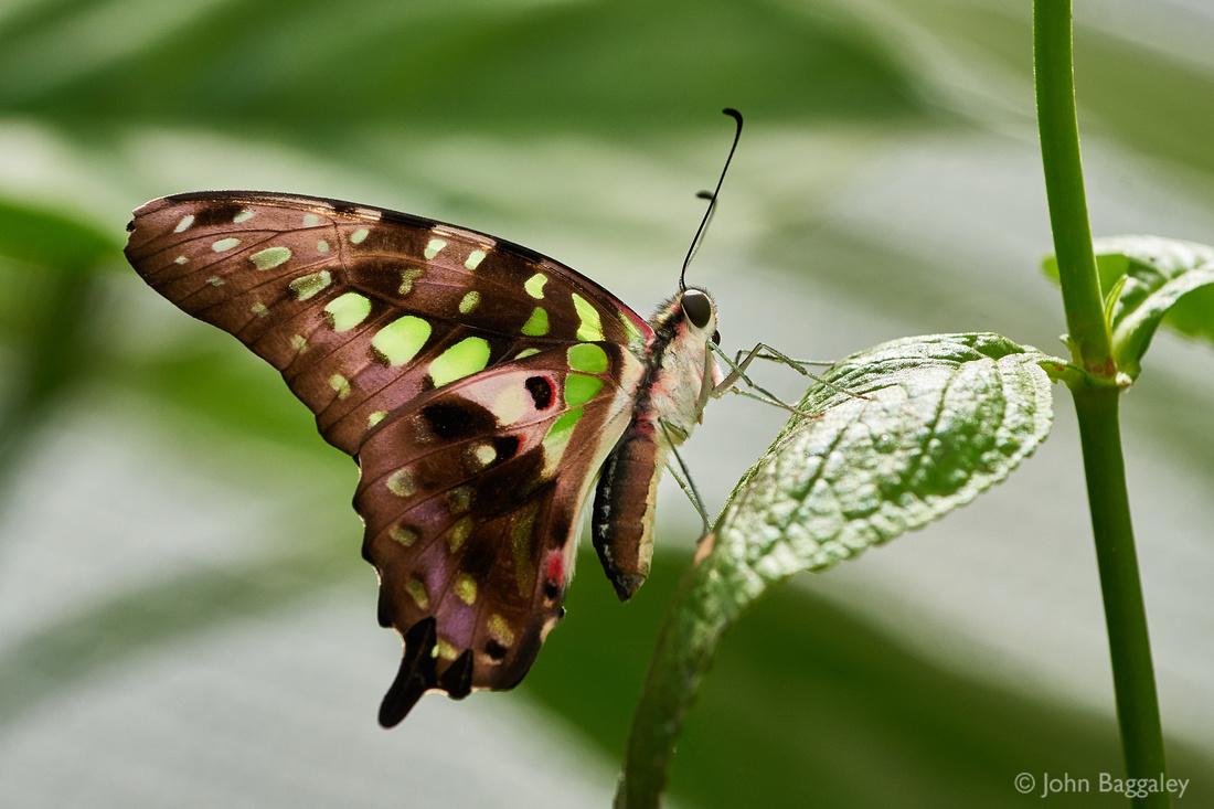 Green Majesty