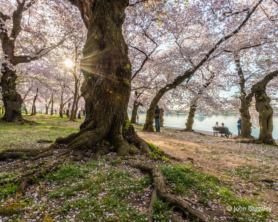Early morning sun peaks through a canopy of cherry blossoms at the Tidal Basin in Washington, D.C.