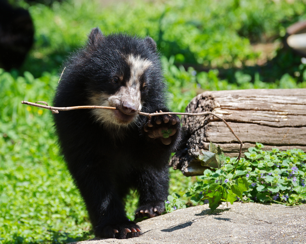 Nicole, an Andean bear cub at the Smithsonian National Zoo, with a small twig in her mouth.