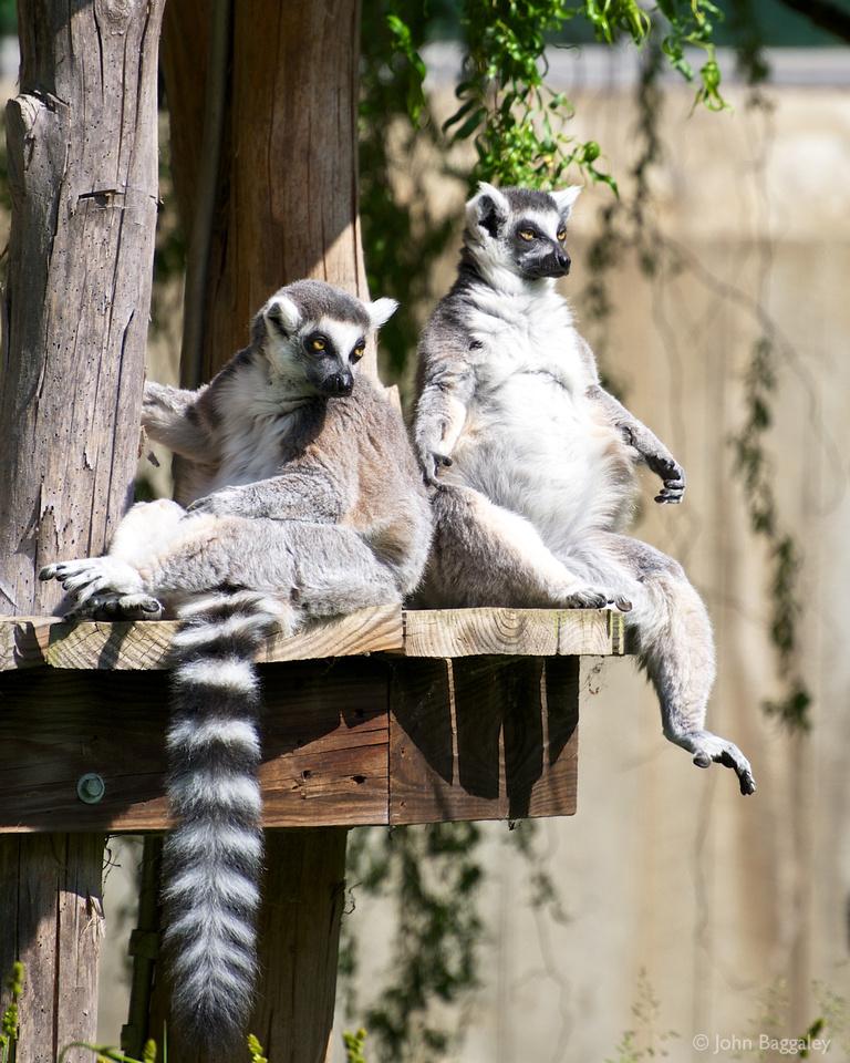 Ring-tailed lemurs sunbathing at the Smithsonian National Zoo.