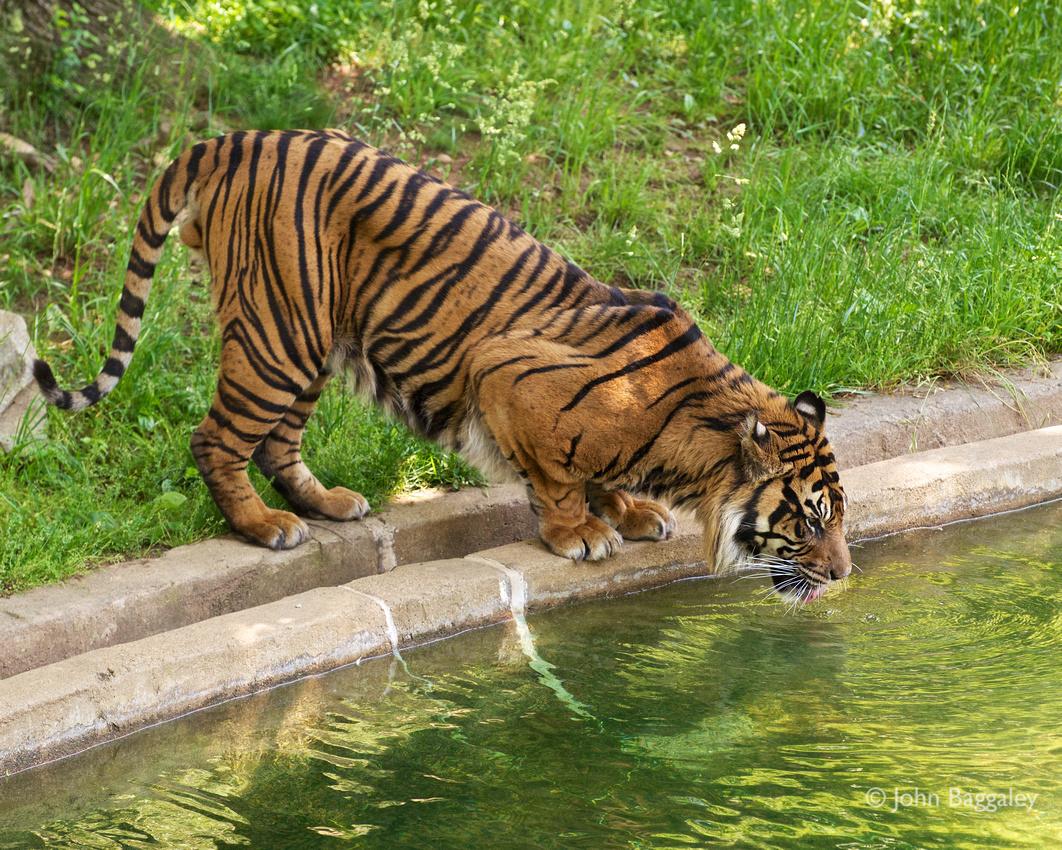 A Sumatran tiger drinks at the Smithsonian National Zoo.