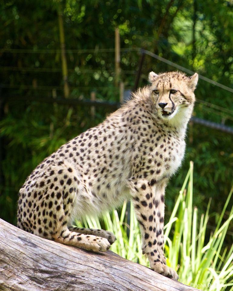 Juvenile cheetah at the Smithsonian National Zoo.