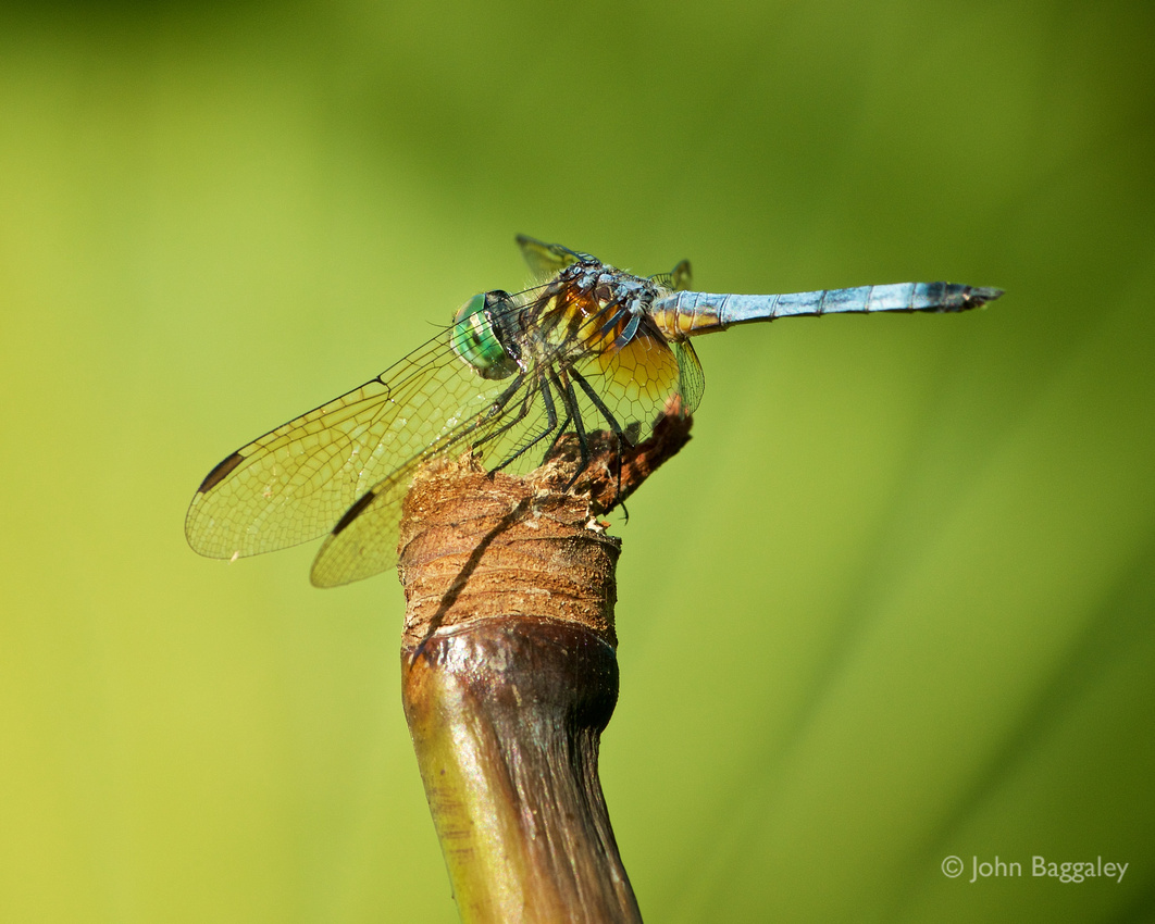 A dragonfly rests on the stalk of a lotus.