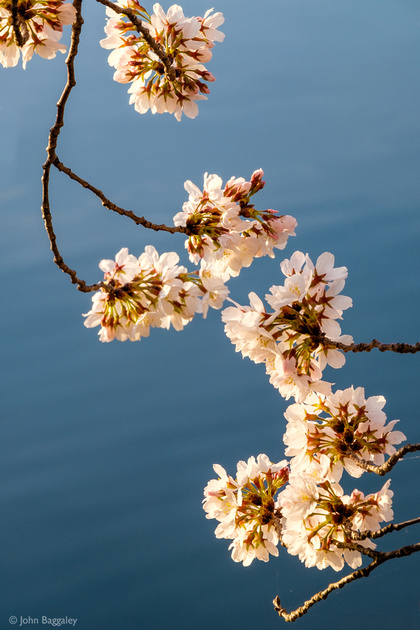 Blossoms over Water