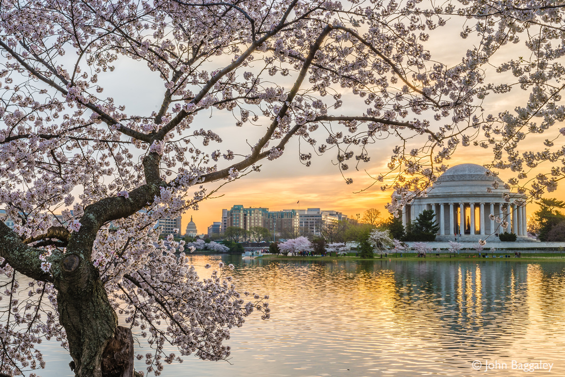 Jefferson and the Cherry Tree