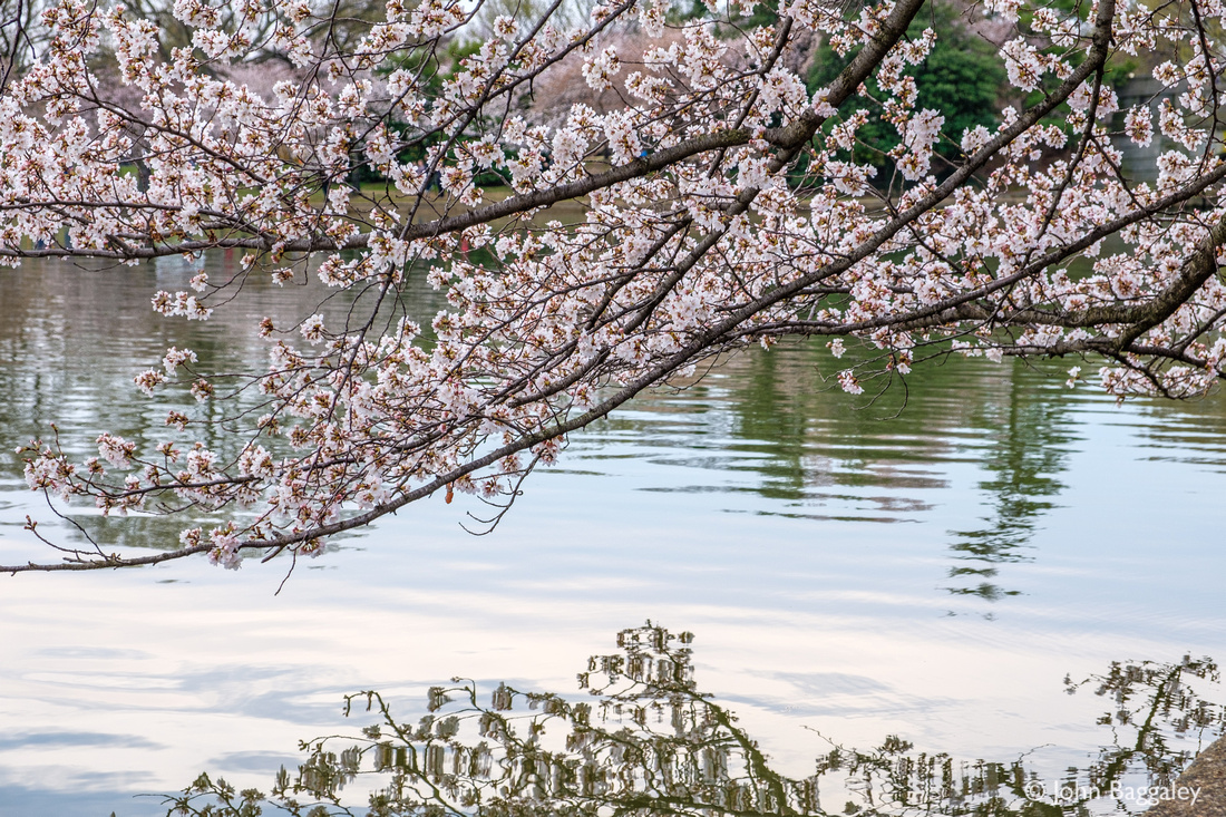 Low Hanging Cherry Blossoms