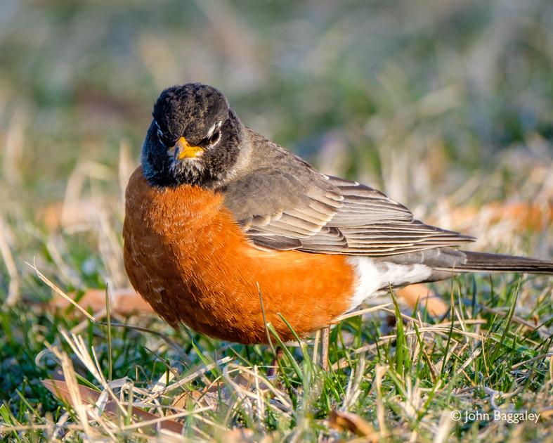 American Robin, Side Profile