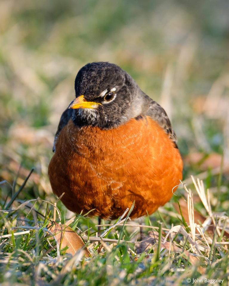 American Robin, Front Profile