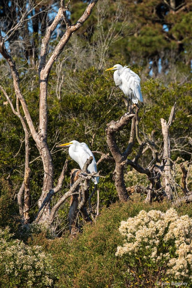 A Pair of Egrets