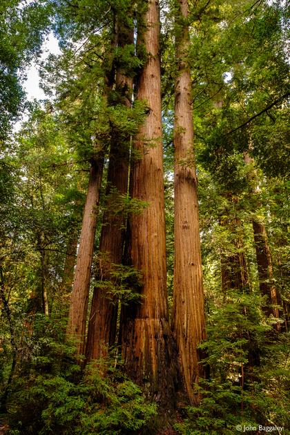 A cluster of coastal redwood trees