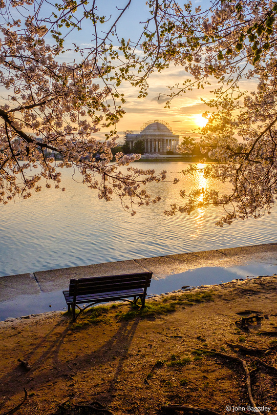 Sunrise and cherry blossoms (vertical)