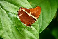 Brown Butterfly, Green Leaf