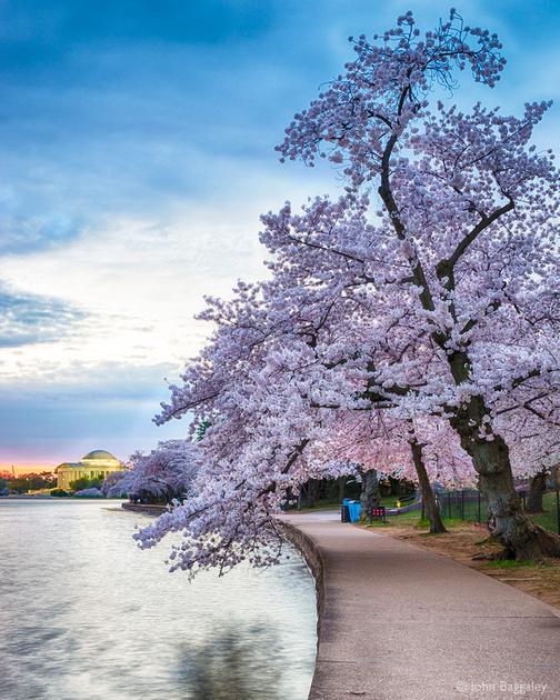 Twilight Cherry Tree