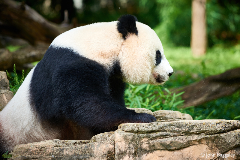 Panda in Zen