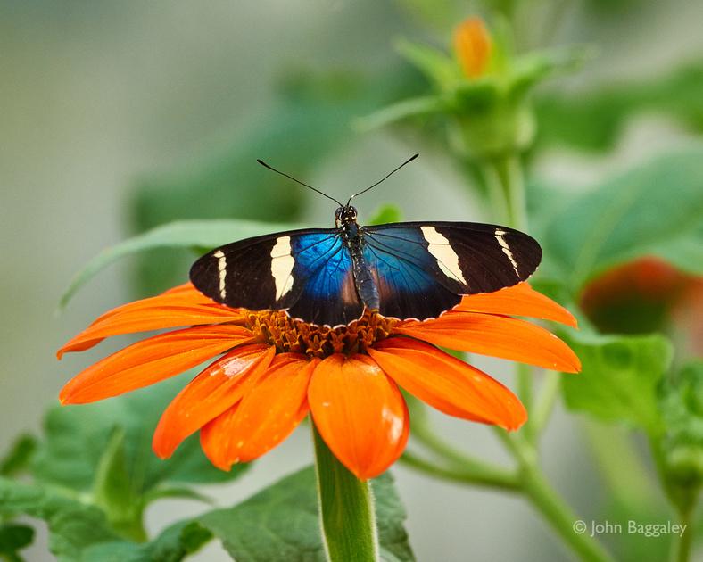 Blue Butterfly, Orange Flower