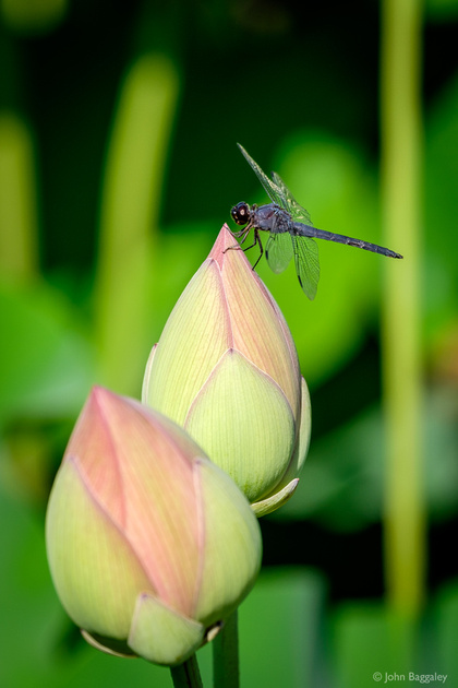A Dragonfly and Two Bulbs
