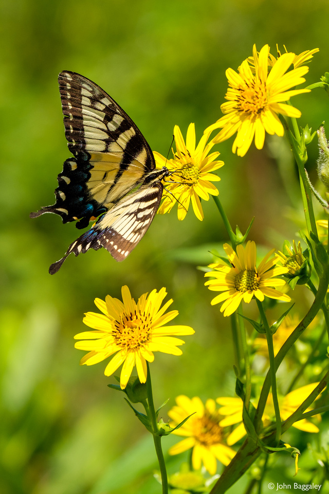 Butterfly and Wildflowers