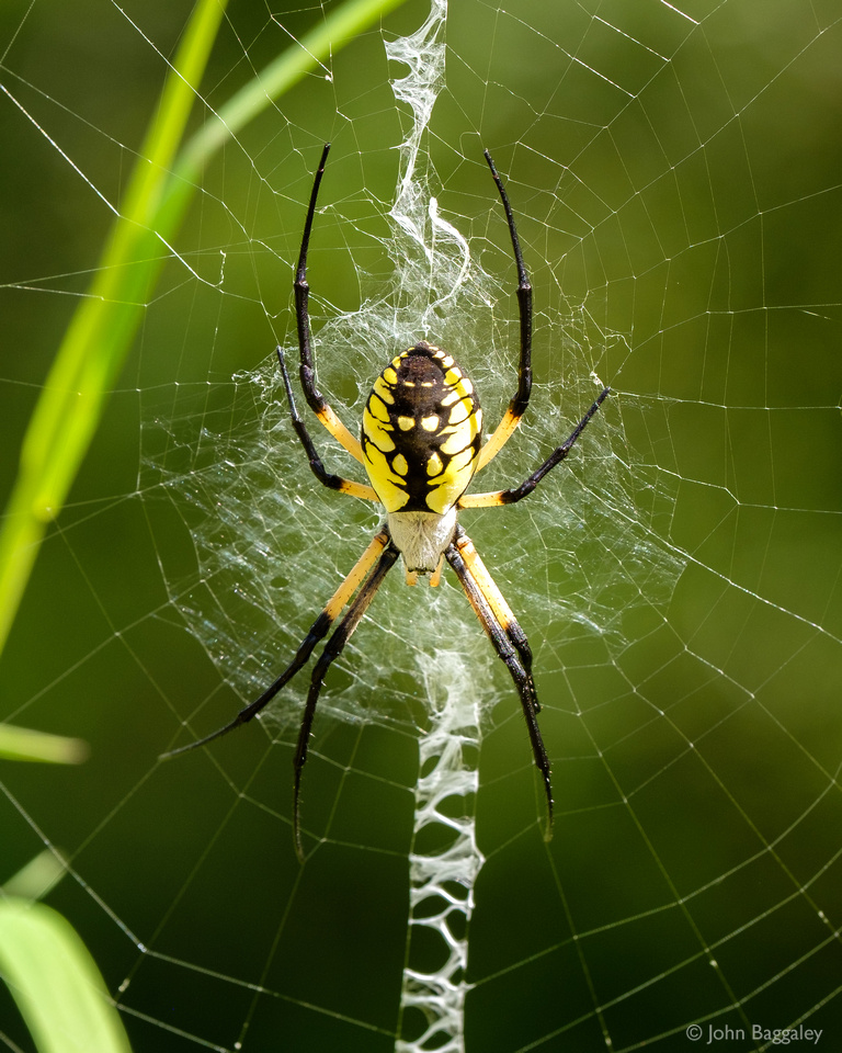 Giant Black and Yellow Garden Spider